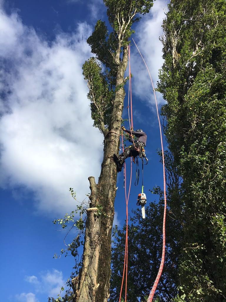 tree surgeon climbing a tree in jarrow